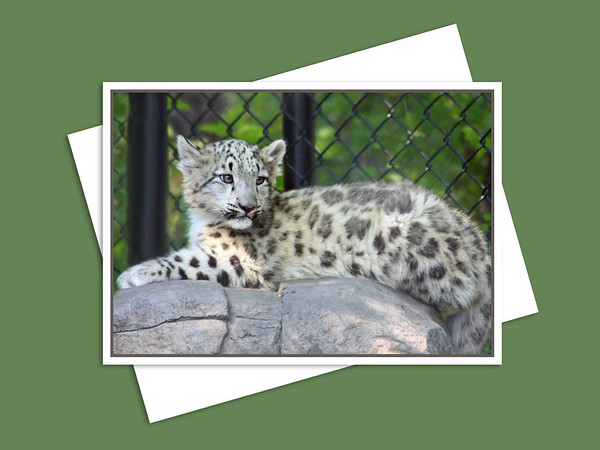 Snow Leopard, Assiniboine Park Zoo