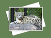 Snow Leopard, Assiniboine Park Zoo