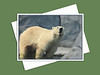 Polar Bear, Assiniboine Park Zoo
