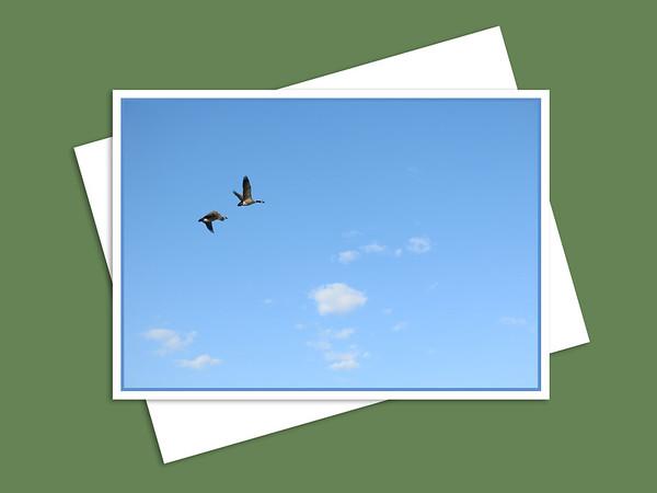 Canada Geese Flying Over Assiniboine Park