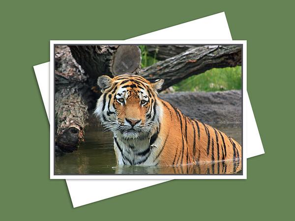 Amur Tiger, Assiniboine Park Zoo