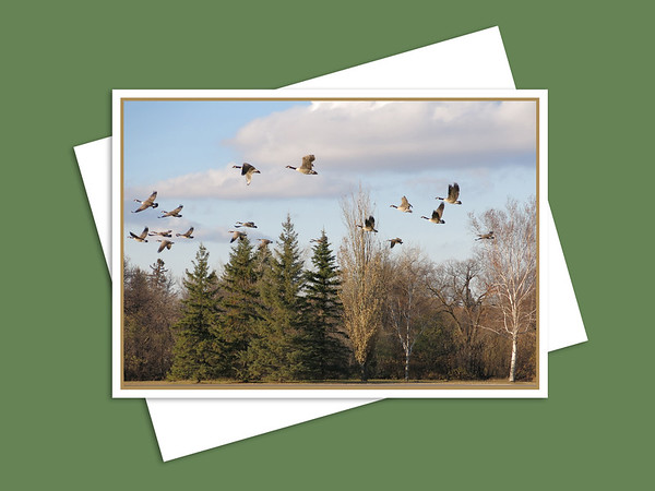 Canada Geese Flying Over Assiniboine Park