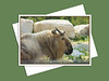 Szechwan Takin, Assiniboine Park Zoo