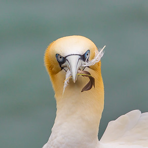 Gannet With Feather