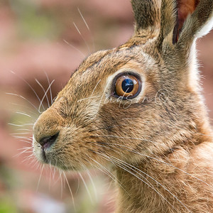 Brown Hare Face