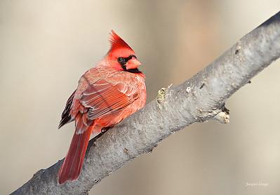 Cardinal le 26 décembre 2012.