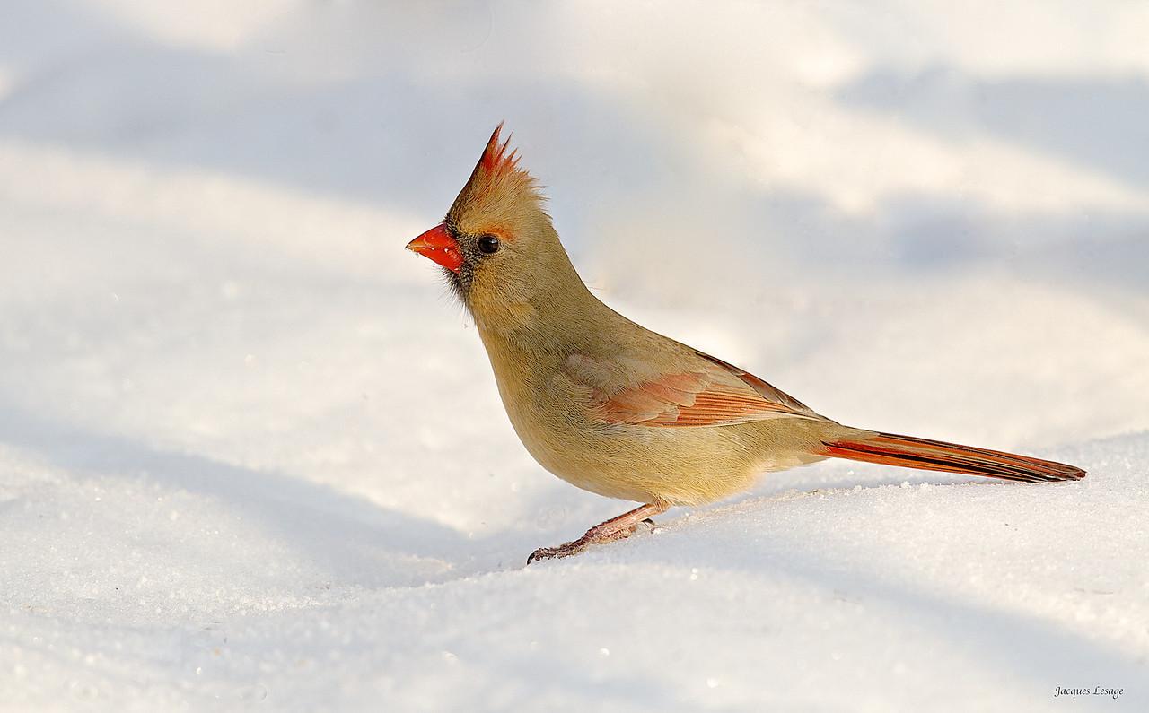 Cardinal , Décembre 2012 - Boisé de la Frayère.