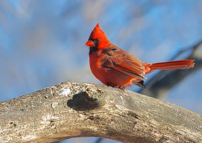 Cardinal- Boisé de la Frayère le 18 janvier 2013