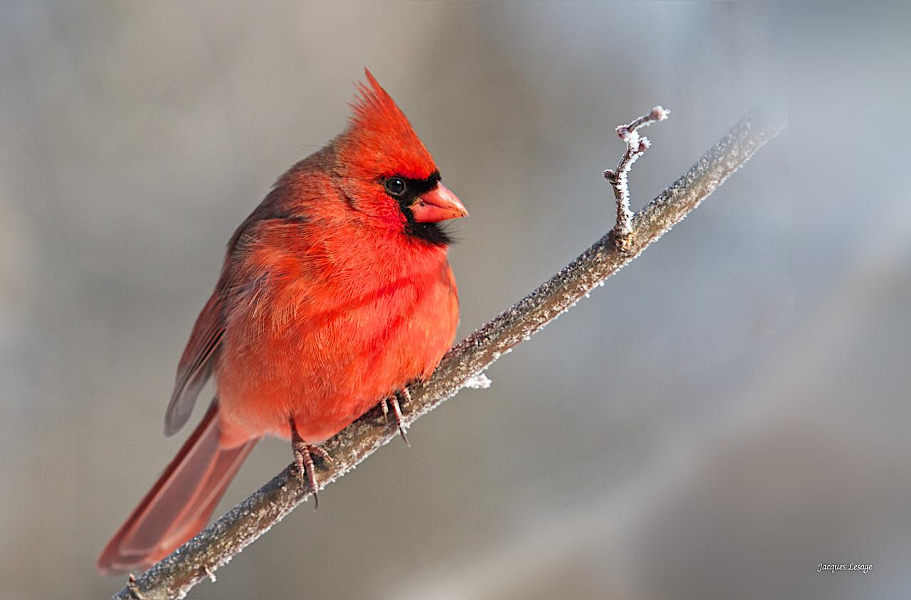 Cardinal, Boisé, Frayère, décembre, 2012,