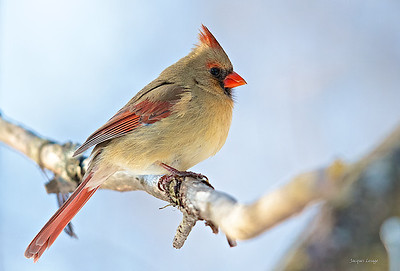 Femelle cardinal , Boisé Langevin, Boucherville 2013.