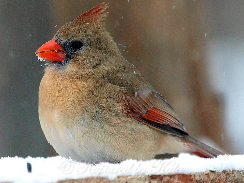 I Just Can't Resist the Beauty of a Cardinal in the Snow