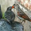 Mama Cardinal Feeding Baby Cowbird View 2