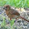 Juvenile Cardinal On The Ground