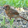 Juvenile Cardinal On The Ground