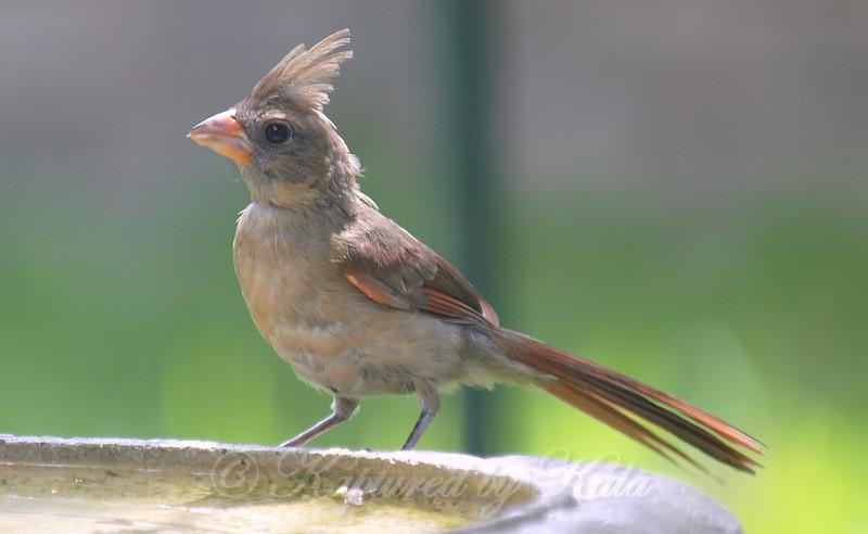 Juvenile Female Cardinal At My Bird Bath