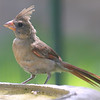 Juvenile Female Cardinal At My Bird Bath