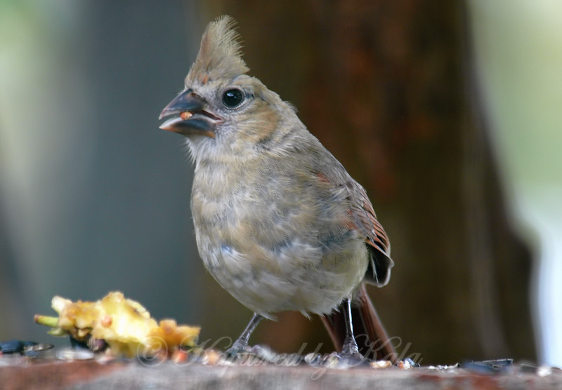 Another Female Juvenile Cardinal