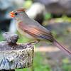 Mama Cardinal Having A Snack