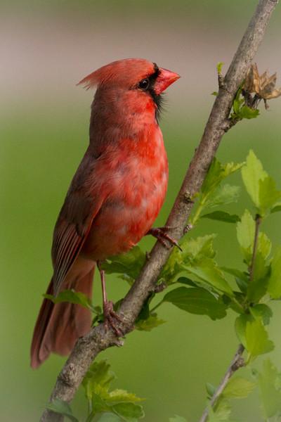 Cardinal with a Beard