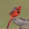Male Cardinal Defending Territoty
