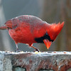 Nearsighted Cardinal