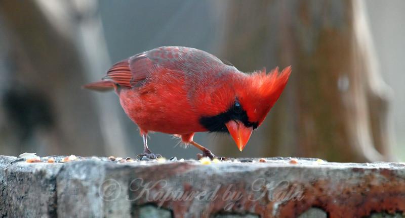 Nearsighted Cardinal
