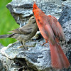 Male Cardinal Feeding A Baby Cowbird