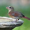 Juvenile Cardinal At The Bird Bath