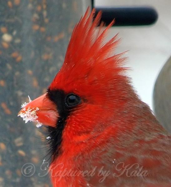 Portrait Of A Snowy Cardinal