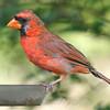 Cardinal Going Thru Molt