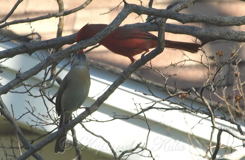 Courting Cardinals