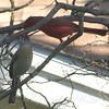 Courting Cardinals