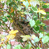 Cardinal Nest In A Rose Bush