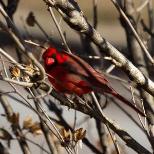 Male Cardinal in January