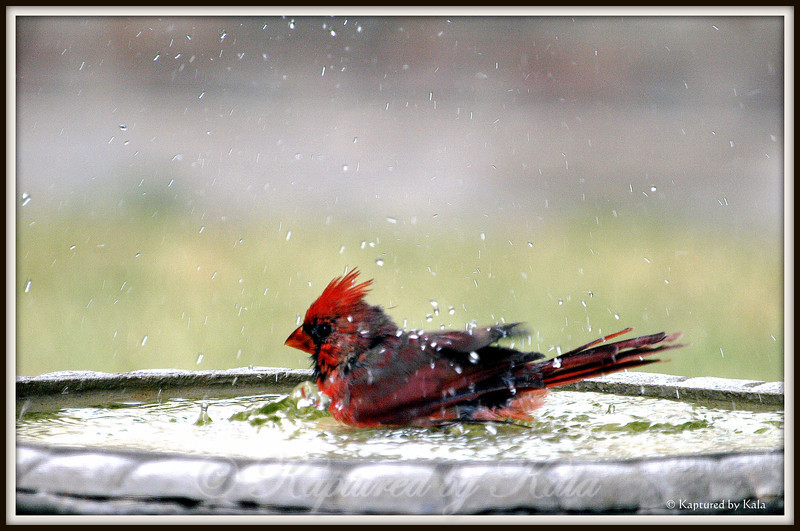 Juvenile Cardinal Bathing