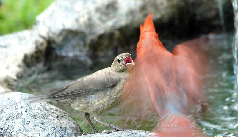 Demanding Baby Cowbird