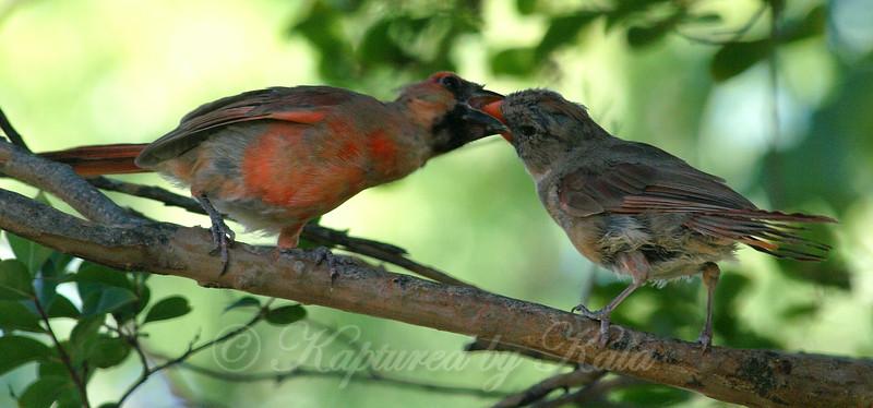 Mama Cardinal Feeding Male Cardinal Fledgling