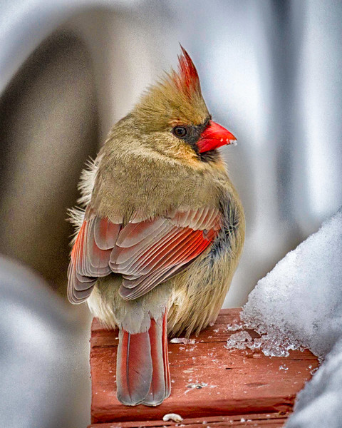 Female Cardinal on Perch in Snow in Winter in Illinois