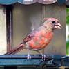 Splotchy Juvenile Cardinal