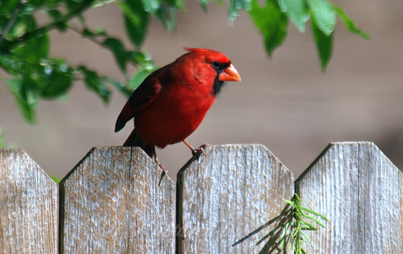 Cardinal On My Daughter's Fence