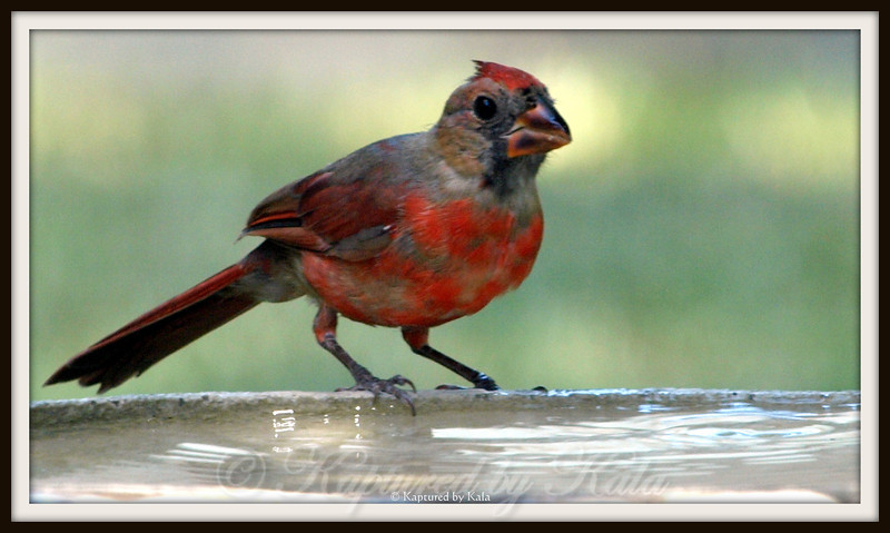 Juvenile Male Cardinal Starting to Show His Colors.