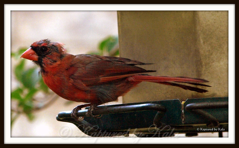 Adult Male Northern Cardinal During Molting Season