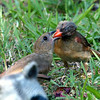 Mama Cardinal Feeding Female Cardinal Fledgling