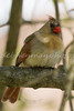 Female Cardinal Perched