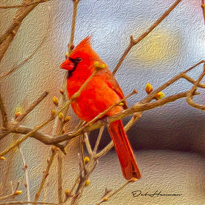 oil paint northrtn cardinal male -