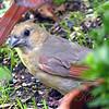 Baby Cardinal Peeking Around A Pot Plant