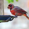 Possibly Leucistic Cardinal