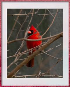 Male Cardinal Framed