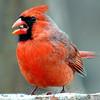 Papa Cardinal Shows He Can Shell a Sunflower Seed Too