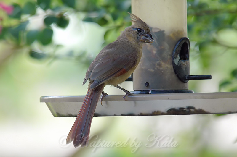 Juvenile Female Cardinal Enjoying A Snack